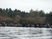 Sea lions in Ucluelet Harbour